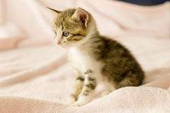 Tiger striped kitten on pink blanket Stock Image