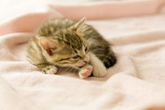Tiger striped kitten on pink blanket Royalty Free Stock Images
