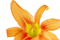 Tiger(striped) lilies on white background. Isolated Stock Photo