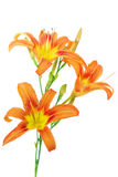 Tiger(striped) lilies on white background. Isolated Royalty Free Stock Photos