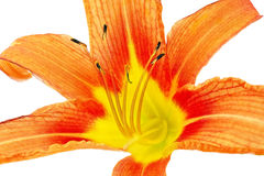 Tiger(striped) lilies on white background. Isolated Royalty Free Stock Photo