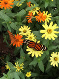 Tiger-striped long wing butterfly nectaring flowers in the garde. N on a sunny day Stock Photos