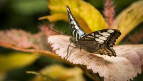 Tiger striped longwing butterfly Royalty Free Stock Photos