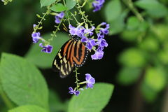 Tiger Striped Longwing butterfly Royalty Free Stock Images
