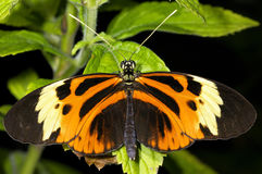 Tiger-striped longwing, heliconius ismenius Royalty Free Stock Images