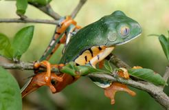 Tiger Stripped Tree Frog Stock Photos