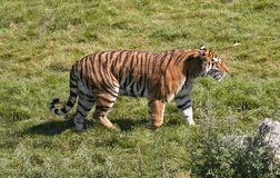 Tiger Stroll. A tiger strolling around in his area royalty free stock images