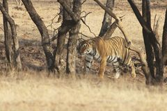 Tiger on stroll, Ranthambore National Park, India royalty free stock photos