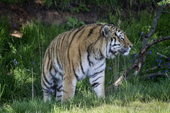 Tiger. A tiger strolling through the grass Royalty Free Stock Images