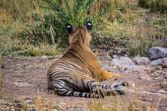 Tiger sultan resting. The male tiger named as sultan is son of t39 tigress. The local people told that this tiger was named as it was born near Sultan Chowki in Stock Image