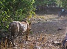 Tiger sultan walking away Royalty Free Stock Photo