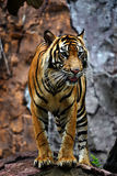 Tiger of Sumatera. A sumatera's tiger is standing dangerously Royalty Free Stock Image