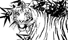 Tiger of sumatra Royalty Free Stock Photos
