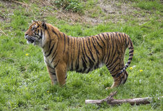 Tiger from Sumatra Stock Images