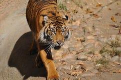 Tiger Sumatran Royaltyfri Foto