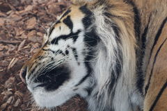 A tiger. A Sumatran tiger having a sleep Stock Photography
