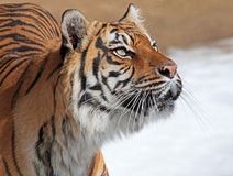 Tiger. Sumatran Tiger Head Looking Up To Right Stock Image