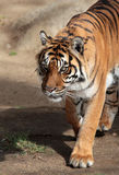 Tiger. Sumatran tiger looking Intently Forward Stock Images
