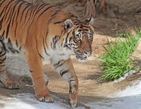 Tiger. Sumatran tiger looking Intently to Right Stock Photo