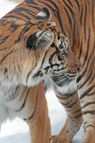 Tiger. Sumatran Tiger Looking Over Shoulder Stock Images