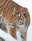 Tiger. Sumatran tiger looking up to the left Royalty Free Stock Photography