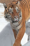 Tiger. Sumatran tiger looking up to the right Stock Photo