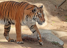 Tiger. Sumatran tiger lstepping out of the shadow Stock Photography
