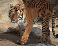 Tiger. Sumatran tiger lstepping out of the shadows Royalty Free Stock Image