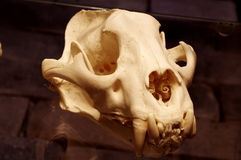 Tiger Sumatran skull Royalty Free Stock Photography