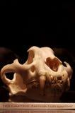 Tiger Sumatran skull 2 Stock Image