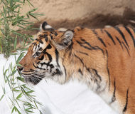 Tiger. Sumatran Tiger Sniffing Bamboo Shoots Royalty Free Stock Photography