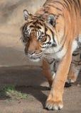 Tiger. Sumatran Tiger Stalking With Intensity Royalty Free Stock Image