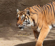 Tiger. Sumatran Tiger Stalking With Intensity Stock Image