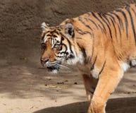 Tiger. Sumatran Tiger Stalking With Intensity Stock Image