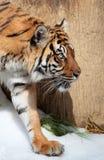 Tiger. Sumatran Tiger Stalking Stance And Intense Look Stock Photography