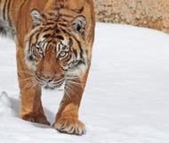 Tiger. Sumatran Tiger Stalking Stance Looking Forward Stock Photography
