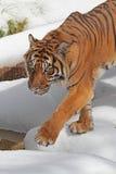 Tiger. Sumatran Tiger Stalking Stance Step In Snow Royalty Free Stock Images