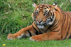 Tiger, Sumatran, Sumatran Tiger Royalty Free Stock Photos
