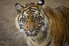 Tiger, Sumatran Tiger Stock Photography