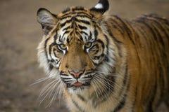 Tiger, Sumatran Tiger Stock Photography