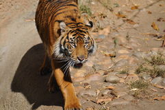 Tiger, Sumatran Royalty Free Stock Photo