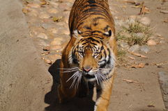 Tiger, Sumatran. A very hungry and angry tiger stock images