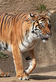 Tiger. Sumatran Tiger Walking Toward Right Royalty Free Stock Photos