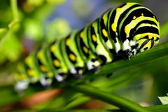 Tiger Swallow Caterpillar. A Tiger Swallow Caterpillar in some green vegetation stock photography
