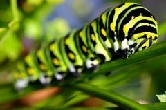 Tiger Swallow Caterpillar. A Tiger Swallow Caterpillar in some green vegetation Stock Photography