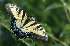 Tiger Swallowtail. A tiger swallowtail butterfly sits on a flower Royalty Free Stock Photo