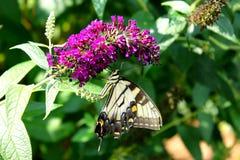 Tiger Swallowtail Fotografie Stock Libere da Diritti