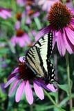 Tiger Swallowtail Foto de archivo libre de regalías