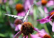 Tiger Swallowtail Fotografía de archivo