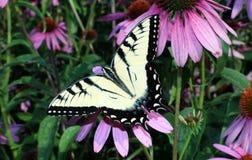 Tiger Swallowtail Imagen de archivo libre de regalías